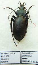 Carabus oxycarabus saphyrinus (male A1) from TURKEY