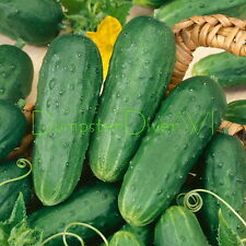 Homemade Pickles Pickle CUCUMBER 35+ Seeds Organic NON-GMO Extra Productive vine