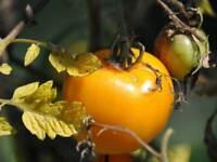 Sunray Tomato Seeds     bin219