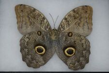 Owl Butterfly Famous Insect Specimen Mounted