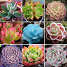 Bonsai 60 PCS Seeds Rare Succulent Home Garden Bulk Organic Ornament Plant NEW S