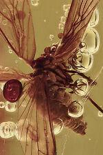 PERFECT Dustywig Coniopterygidae Archiconiocompsa prisca BALTIC AMBER 170130