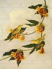 kidd audubon scottish gelb nger zoologie print poster bb6011a
