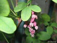 Eine geschätzte Zierpflanze, schnellwüchsig und winterhart: der Schokowein !