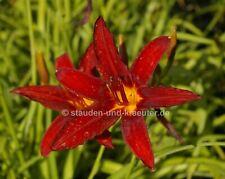 "Rote Taglilie, (Hemerocallis ""Crimson Pirate"") Pflanze im 9x9cmTopf"