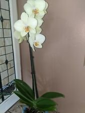 """Phalaenopsis Orchid Plant-4""""pot, Lime green orchid plant, live plant, beautiful"""