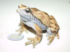 Yujin The Frogs in colour #6 Microhyia omata Ornate narrow-mouthed frog