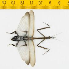 MANTIS - Ceratocrania macra (Male) - Tapah Hills - MALAYSIA - 8405