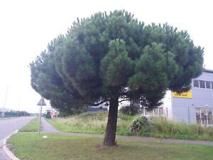 Italian stone pine x 15 fresh seeds (Pinus Pinea) UK SELLER and seeds 🇬🇧