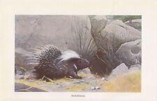 Stachelschwein ( Hystricidae ) Nagetier Farbdruck 1914
