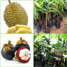 2 Popular Plant Durio zibethinus + Garcinia mangostana Thai tropical fruit plans