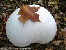 Giant puffball (gigantea calvatia) - la culture de champignons 10ml Seringue de spores (Kit)