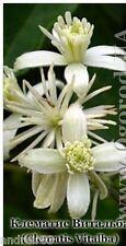 Seeds of Clematis Vitalba - 20 seeds Клематис