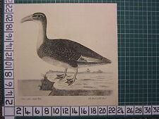 c1735 PRINT THE HOOK BILLED DUCK ~ ANTIQUE BIRD PRINT ELEAZER ALBIN ~