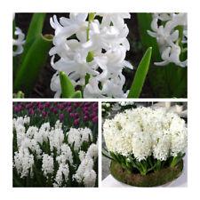 Carnegie Hyacinth x 30 Bulbs Indoor / Outdoor Bulbs.Highly Fragrant.