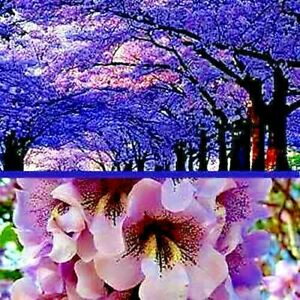 50 Royal Empress (Paulownia tomentosa) Seeds FASTEST GROWING TREE in the WORLD!