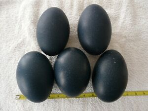 LOT OF 5 EMU EGGS - Shells - Cleaned - Large - Arts & Crafts & Painting