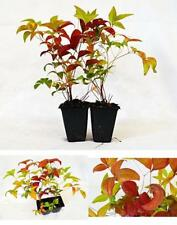 Nandina Domestica Fire Power Heavenly Bamboo 2 Pack Plant Outdoor Best Gift Yard