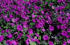 200 PURPLE LAURA BUSH PETUNIA Violacea Violet Perennial Trumpet Flower Seeds