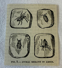 small 1882 magazine engraving~ Animal Remains In Amber