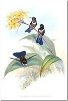 "Vintage Hummingbird Art John Gould CANVAS PRINT~Heliangelus Strophianus 36x24"""