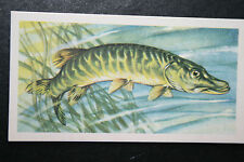 #PIKE   Freshwater Fish  Vintage Illustrated Card  # VGC / EXC
