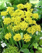 10 x Vibrant Allium moly bulbs
