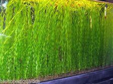 10 x TWISTED VALLIS - Live Aquarium Aquatic Plant - Vallisneria torta corkscrew