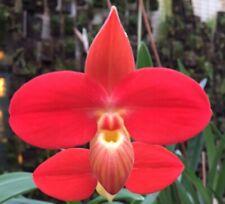 Phragmipedium besseae `OZ Select  ! - Orchidee Naturform