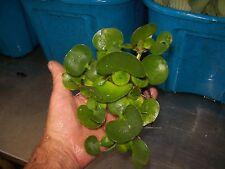 Helen'S,Water Hyacinth,Pond,Plant,Biofi lter,100% Organic Grown,Dep Ag Pa#Ooo5Dl