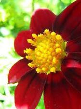 "NEW! ""ROXY"" MIGNON RED DAHLIA FLOWER SEEDS  15+"