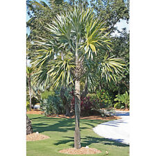 20 x Leucothrinax morrisii (= Thrinax morrisii) palm tree seeds