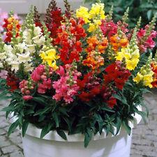 More details for 100 giant snapdragon seeds antirrhinum majus mix colour border container flower