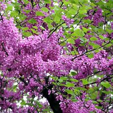 8 Graines d'Arbre de Judée plante gainier fleurs amis des vergers