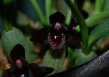 Botanica Ltd. Brasiliorchis / Maxillaria schunkeana *Black* Species Orchid Plant