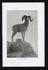 The Rocky Mountain Bighorn Sheep - 1894 Historical Print
