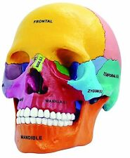 4D Master Colours 1:2 Human Anatomy Didactic Exploded Skull Glow in the Dark NEW