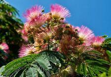 ARBOL DE LA SEDA - Albizia Julibrisin 100 Semillas seeds