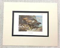 1929 Antico Uccello Stampa Golden Aquila Nido Hawk Di Preda Archibald Thorburn