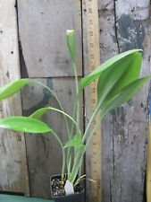 Caliphruria subdentata - awesome bulb - Gorgeous.