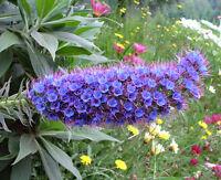 Echium Candicans 15 Seeds, Pride Of Madeira, Perennial Sub shrub