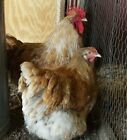 8 Chicken Hatching EGGS Barnyard Mix >Gold Laced, Buff Laced Orpington +