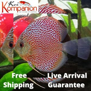 1/2/3X Red Leopard Discus Fish Aquarium Koi Kompanion Free 1 Day Shipping