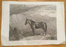 1827 - South American Mule - 19th Century Engraving.