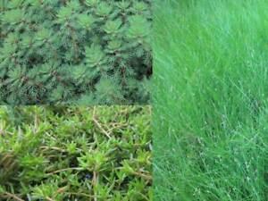 UNTERWASSERPFLANZEN STARTER SET - Teichpflanze Bachlauf Wasserpflanze