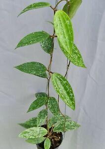 Hoya sp rangsan [B5M01],1 pot , 20-22  inches