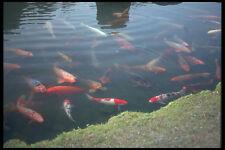 249065 Carp Pond Arashiyama A4 Photo Print