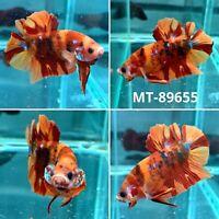 (MT-89655) Orange Tiger Nemo KOI - Live Male Plakat HM Betta Fish (Bitten Tail)
