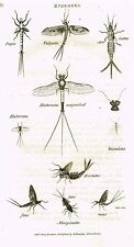 "Shaw's General Zoology (Insects) - ""Mayfly - Vulgata"" - Copper Eng. - 1805"