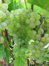 Weinrebe Vitis vinifera Lakemont (R) kernlose Traube 60-80cm Beerengehölz